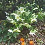 orientalis x niger