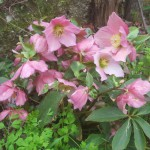 wallberton Rosemary orientalis x niger